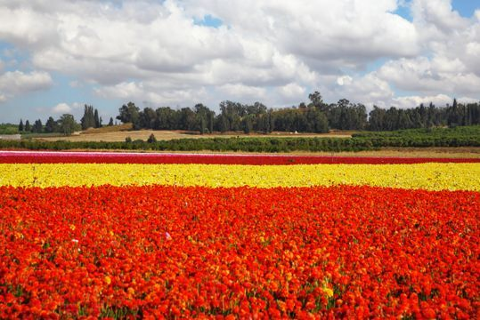 Cultivo de flores en el desierto de Aravá