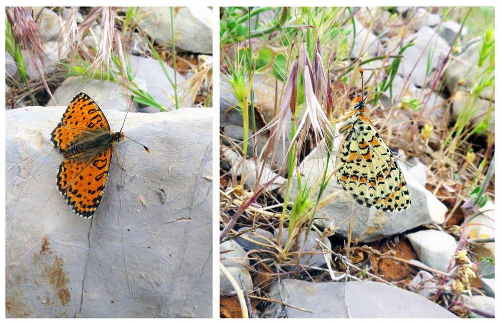 El fritillary de Acentria (Melitaea acentria), una nueva especie de la mariposa descubierta en Israel en las cuestas de la estación de esquí popular del monte Hermon. (Foto: Dr. Vladimir Lukhtanov)