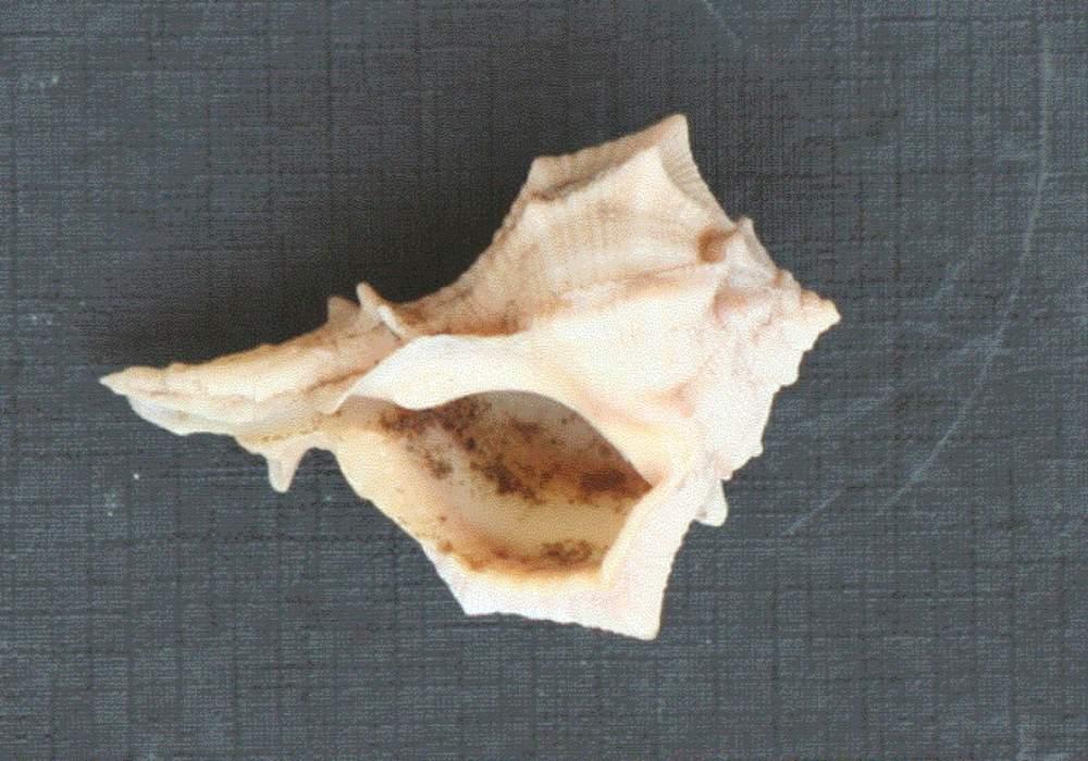 Concha del molusco Murex de donde se habría extraído el tinte Azúl-Púrpura (Foto: Cortesía)
