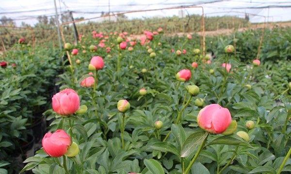Flores cultivadas en el desierto israelí del Aravá.