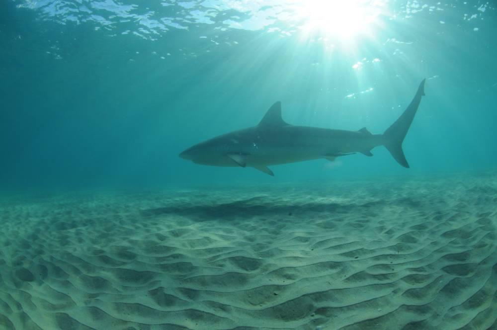 Un tiburón frente a la costa de Israel en la playa de Hadera. /Foto: Ron Golan)