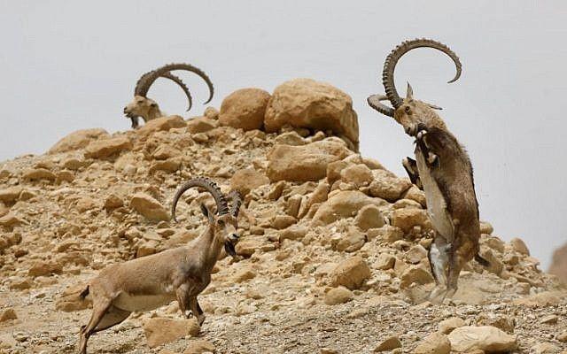 Íbices luchan entre sí durante el ciclo Estral de la especie en la reserva natural de Ein Gedi a lo largo del Mar Muerto en el desierto de Judea el 24 de marzo de 2018. (AFP PHOTO / MENAHEM KAHANA)