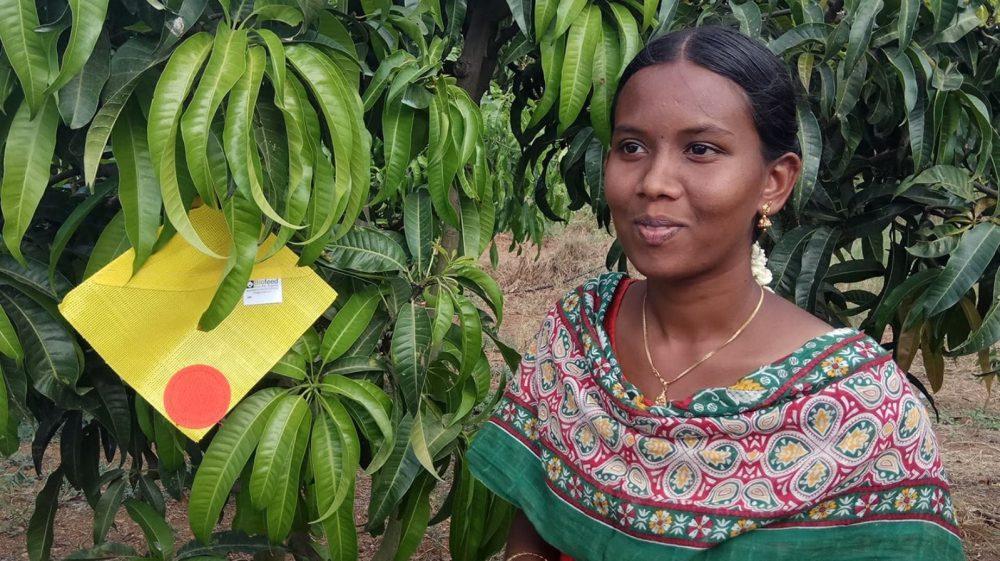 Biofeed's CropShield atrae a un árbol de mango en Tamil Nadu, India. Foto cortesía
