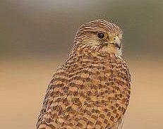 Ilustrativo: Un halcón común o cernícalo vulgar (Falco tinnunculus), fotografiado en Rajastán, India, el 14 de febrero de 2013. (Wikipedia / Ceniza de Dibyendu / CC BY-SA)