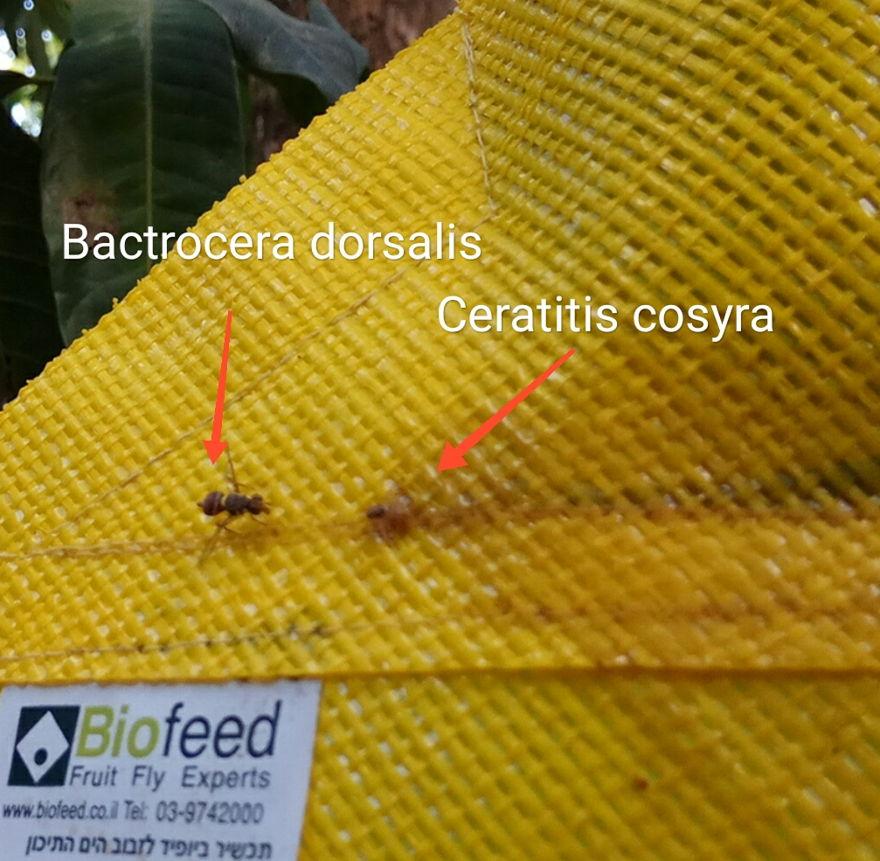 Los dos tipos de moscas de la fruta que devastan los mangos africanos se ven aquí en el dispositivo CropShield de Biofeed. Foto cortesía