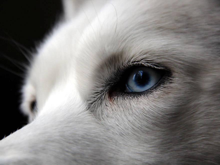 Por qué Israel está lleno de perros de ojos azules
