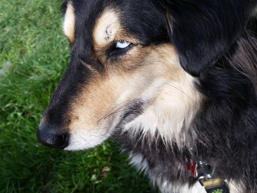 Soleado, una raza mixta con un ojo parcialmente azul, un signo de herencia ronca. ( Foto: Dafna Maor)