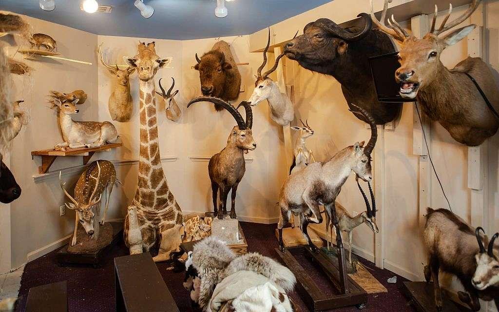 Todas las 1,100 especies mencionadas en la Biblia y el Talmud se pueden encontrar en el museo Torah Animal World en la ciudad de Nueva York.(Miqueas B. Rubin / Times of Israel)