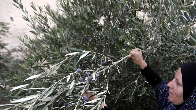Mujer palestina recoge aceitunas (foto de archivo) (Foto: EPA)