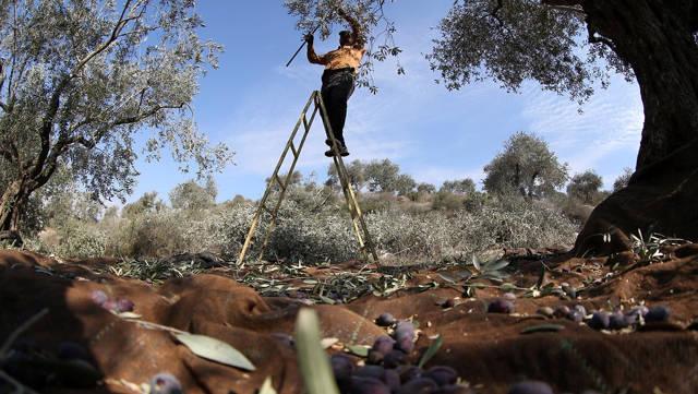Agricultor palestino recolecta aceitunas (foto de archivo) (Foto: EPA)