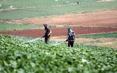 Foto ilustrativa de agricultores palestinos (crédito de foto: Issam Rimawi / Flash90)