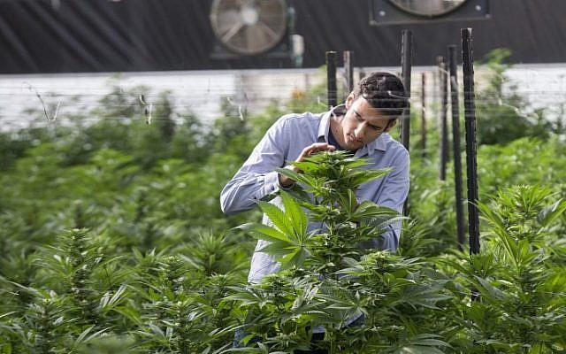 Ilustrativo: un ingeniero agrícola israelí inspecciona plantas de marihuana en el invernadero Pharma de BOL (Breath Of Life) en la segunda plantación de cannabis medicinal más grande del país, cerca de Kfar Pines en el norte de Israel, el 9 de marzo de 2016. (Jack Guez / AFP)