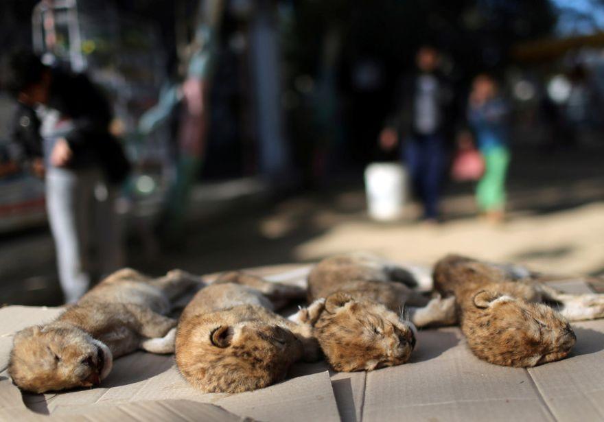 Los cuerpos de cuatro cachorros de león que murieron en un zoológico se ven en el sur de la Franja de Gaza, el 18 de enero de 2019.. (Crédito de la foto: IBRAHEEM ABU MUSTAFA / REUTERS)
