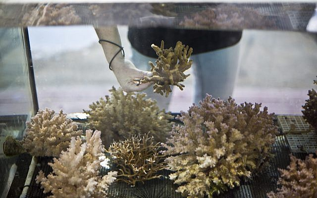 Jessica Bellworthy, investigadora de corales en el Instituto Interuniversitario de Ciencias Marinas, IUI, examina los corales en tanques tratados para simular las condiciones futuras de cambio climático en la ciudad del mar Rojo de Eilat, sur de Israel, 11 de febrero de 2019. (Ariel Schalit / AP)