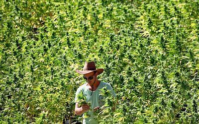 Ilustrativo: Un trabajador tiende a las plantas de cannabis en una instalación en crecimiento para la compañía Tikun Olam cerca de la ciudad norteña de Safed, 31 de agosto de 2010. (Abir Sultan / Flash 90)