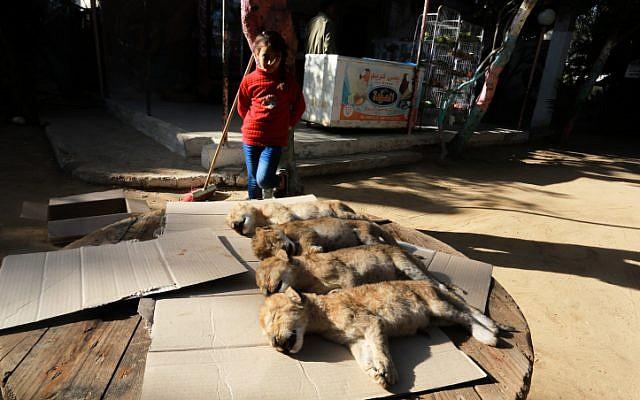Una niña palestina mira los cuerpos de cuatro cachorros de león recién nacidos que murieron a causa del clima frío en un zoológico en Rafah, en el sur de la Franja de Gaza el 18 de enero de 2019. (Abed Rahim Khatib / Flash90)