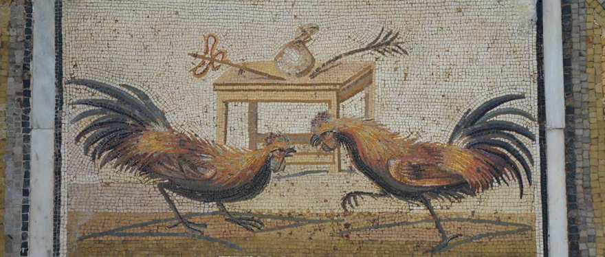 Un mosaico que representa a los gallos peleando, encontrado en Pompeya,