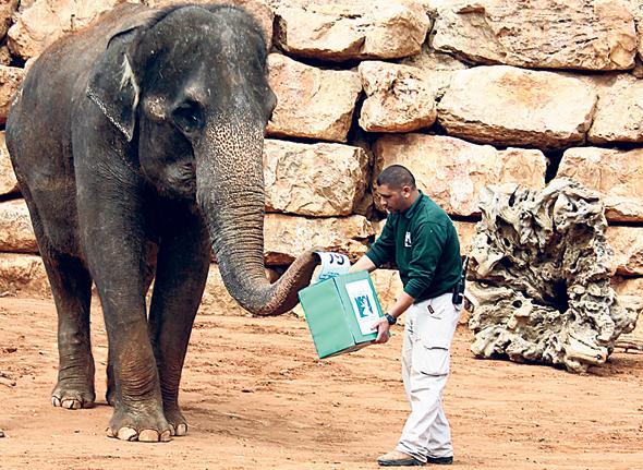 Un elefante votando en el zoológico bíblico de Jerusalem. Foto: Yaara Bosque Tamari