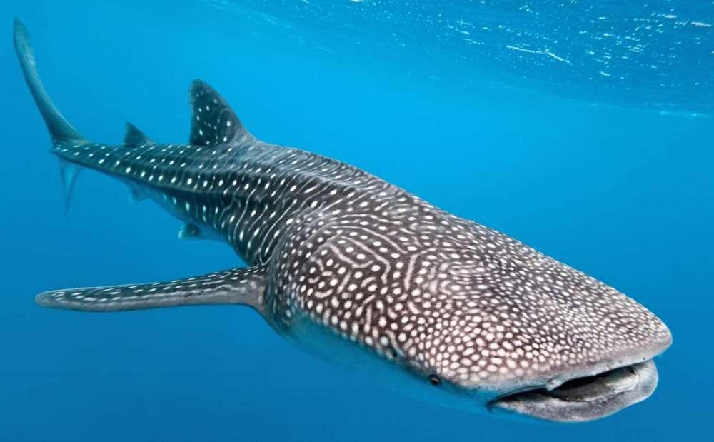 Avistamiento de raro Tiburón ballena en Eilat