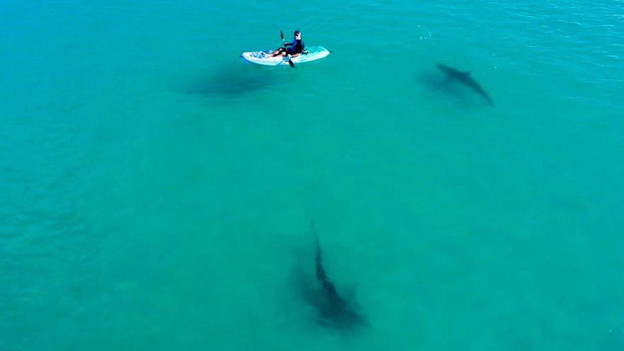 Un investigador en un kayak estudia tiburones en las aguas poco profundas cerca de Hadera, Israel. Foto de Hagai Nativ / Morris Kahn Marine Research Station / University of Haifa.