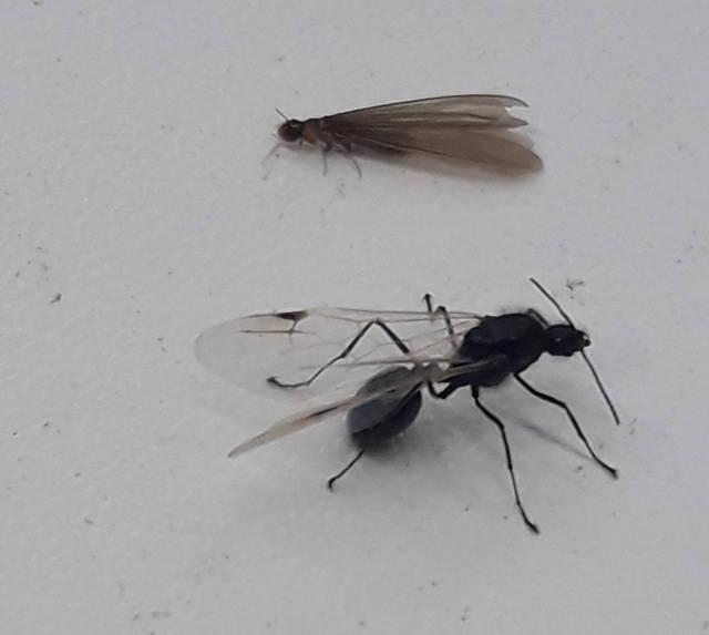 Termitas y hormigas aladas (Foto: Ettay Nevo, Instituto Davidson de educación científica)