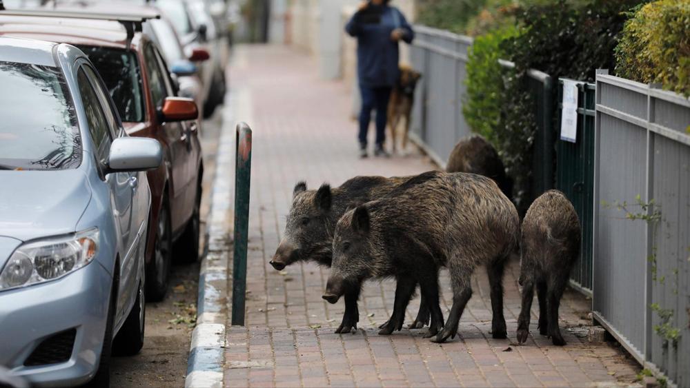 Jabalíes invaden las calles de Haifa en israel