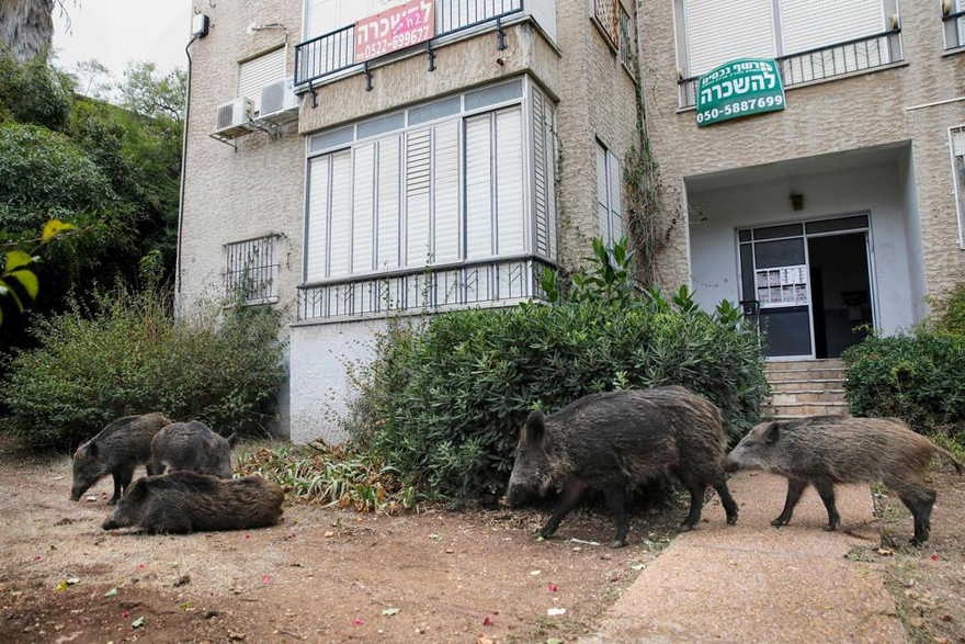 Jabalíes invaden las calles de Haifa