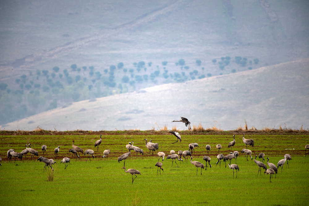 Miles de grullas invaden granjas al norte de Israel
