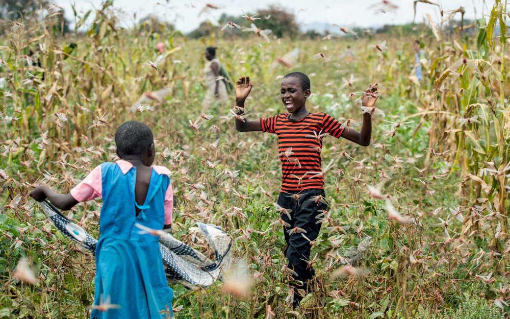 Enjambres de langostas amenazan Medio Oriente, India y África durante la pandemia