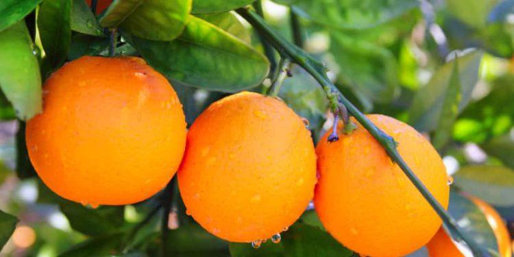 "Finlandia rechaza 104.000 kilos de naranjas israelíes ""debido a pesticida prohibido"""