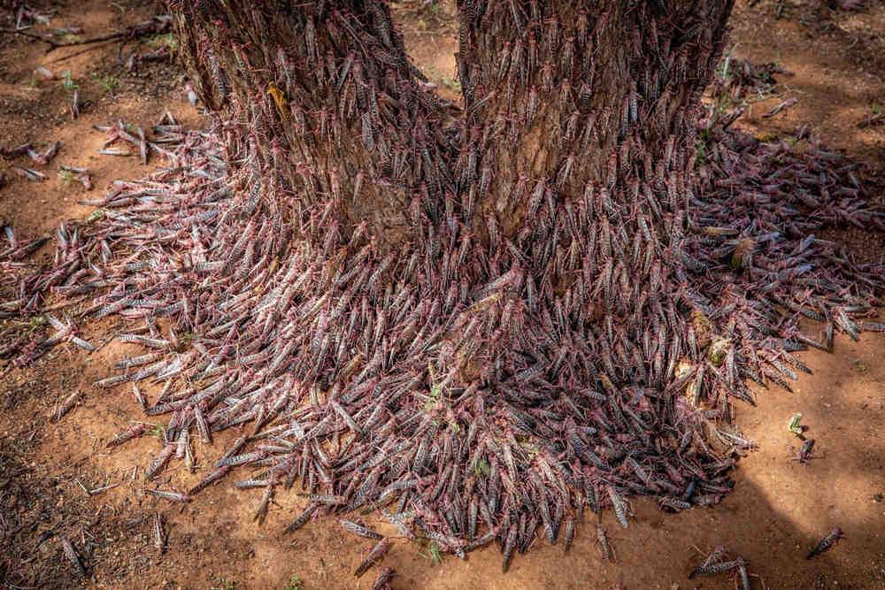 Plaga de langostas: La segunda ola será 20 veces más grande que la primera