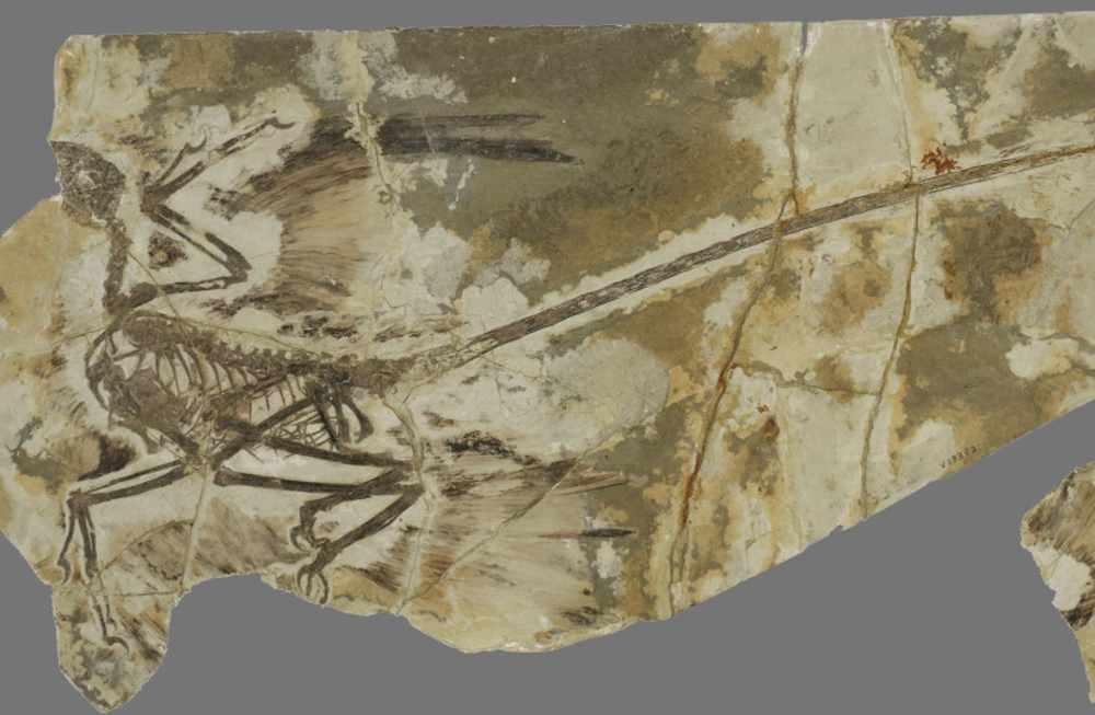 Científicos israelíes identifican la primera prueba de muda de plumas en un dinosaurio volador