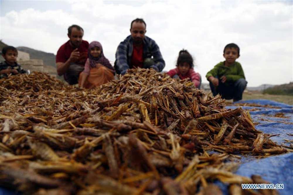 Invasión de langostas en Yemen aviva temores por la inseguridad alimentaria