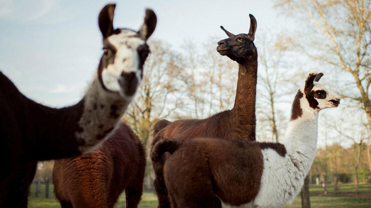 Los anticuerpos de la llama y el camello podrían usarse como tratamiento contra el COVID